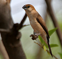 Indian Silverbill (Lonchura malabarica) near Hyderabad W IMG 7786.jpg
