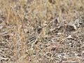 Indian Thick-knee-9150.jpg