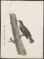 Indicator minor - 1796-1808 - Print - Iconographia Zoologica - Special Collections University of Amsterdam - UBA01 IZ18800297.tif