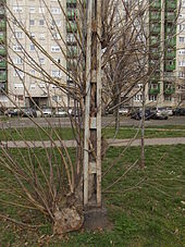 Ingrown tree close to Budafok kocsiszin tram depot (1).JPG
