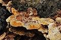 Inonotus cuticularis ? (36165509880).jpg