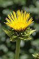 Inula helenium-floro-001.jpg