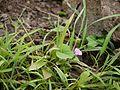 Ipomoea triloba (4938412194).jpg
