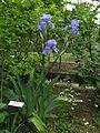 Iris germanica12.jpg