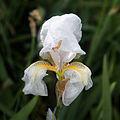 Iris lutescens-Iris des garrigues (Variété blanche)- 20160413.jpg