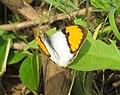 Ixias marianne– White Orange-tip 05.jpg