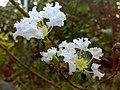 JNU White Flowers Bunch.jpg