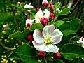 Jabuka u cvetu - panoramio.jpg