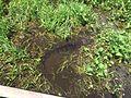 Jacaré no Pantanal.jpg