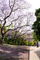 Jacaranda and jacaranda leaves in Plaza General San Martin in Buenos Aires, Argentina (15915781276).png