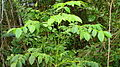 Jacaranda jasminoides (Thunb.) Sandwith (2424779549).jpg