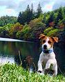 Jack Russell Puppy Lola.jpg