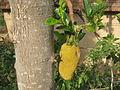Jackfruit NP.JPG