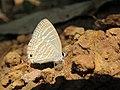 Jamides celeno - Common Cerulean mud puddling at Peravoor (19).jpg