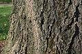 Japanese Alder Alnus japonica (81-305-A) Base Bark.JPG