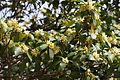 Japanese star anise (Illicium anisatum).jpg