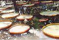 Jardin de Pamplemousses (3002661908).jpg