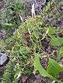 Jasminum malabaricum.jpg