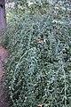 Jasminum nudiflorum Winter Jasmine შიშველყვავილა ჟასმინი.JPG
