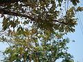 Jf9408Pterocarpus indicus Lubaofvf 01.JPG