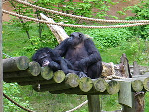John Ball Zoological Garden - Chimps in the Mokomboso Valley Chimpanzee Exhibit.