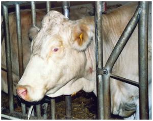 Fleckvieh - German White Fleckvieh cow