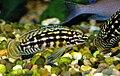 Julidochromis marlieri 02.jpg