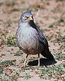 Jungle Babbler.jpg