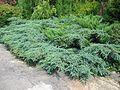 Juniperus-x-pfitzeriana.jpeg