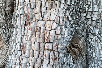 Juniperus deppeana - Detail of the alligator-like bark as seen in the Magdalena Mountains of New Mexico