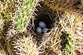 Just afew flowers this year, near Clifton Arizona…well protected nest in a cactus (7334030186).jpg