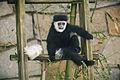 Juvenile Colobus Monkey Sitting on a Step (12072590756).jpg