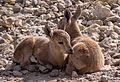 Juvenile Nubian ibex (50847).jpg