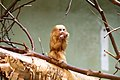 Juvenile golden lion tamarin.jpg