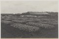KITLV - 5481 - Kleingrothe, C.J. - Medan - Seed beds on a tobacco plantation of the Deli Company in Deli - circa 1915.tif
