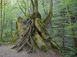 Root - Large, mature tree roots above the soil
