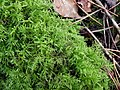 Kindbergia praelonga 99517518.jpg