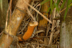 Romulus Whitaker - King Cobra at Agumbe Rainforest Research Station