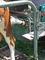 Klauenpflege Kuh 9802.jpg