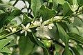 Kluse - Fortunella margarita - Kumquat 08 ies.jpg