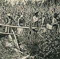 Knackstedt & Näther Stereoskopie 0669 Cuba. Zuckerrohr-Plantage. Bildseite mit Ansicht um 1900 arbeitender Sklaven im Feld auf Kuba (cropped).jpg