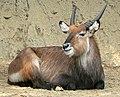Kobus ellipsiprymnus zoo.jpg