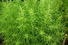 Kochia aka Fire bush 7128.JPG