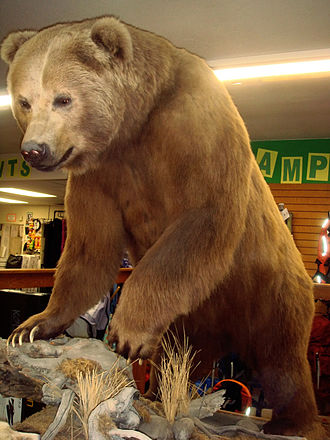 Kodiak, Alaska - Preserved Kodiak bear in Big Ray's (formerly Mack's Sporting Goods) store