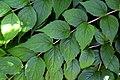 Kolkwitzia amabilis 02.jpg