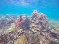 Korallen in Panama (27117268975).jpg