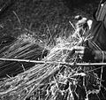 Krovec Jože Korelc nalaga škup pod prekeljco 1964 (2).jpg