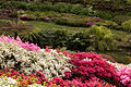 Kurume Azaleas - National Rhododendron Gardens, Olinda, Victoria Australia (6225544473).jpg