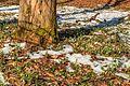 Kvetoucí sněženky v PP Sněženky ve Vysokém lese 22.jpg