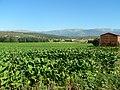 LA VERA.CACERES 2.010 plantacion de tabaco - panoramio.jpg